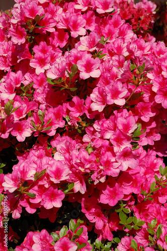 Plexiglas Roze primo piano azalea