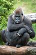 female silverback gorilla
