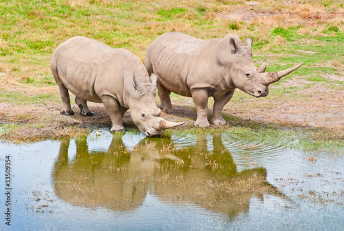 Two Rhinozeros Drinking At Lake
