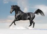 Fototapeta arabski - Arabian - Zwierzę Hodowlane