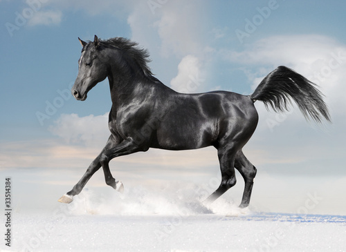black arab horse on winter