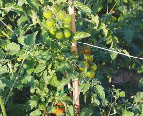 tomatera cereza