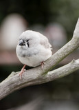 Young normal zebra finch poster