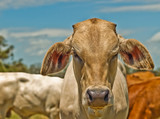 Australian beef cattle charolais bred for meat poster