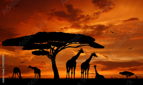 herd of giraffes in the setting sun - 33526159
