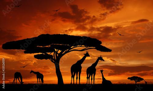 Fototapety, obrazy : herd of giraffes in the setting sun