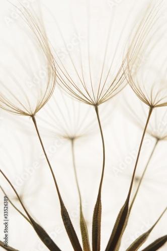 Staande foto Paardebloemen en water dandelion seeds