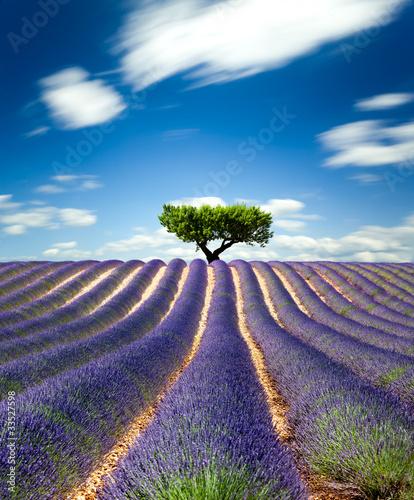Fototapety, obrazy : Lavande Provence France / lavender field in Provence, France