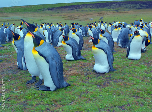 Colony of emperor penguins on Falkland islands