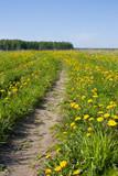 Road among fields of dandelions
