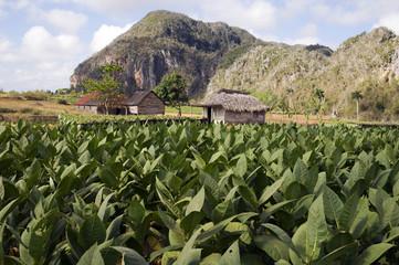 Champs de tabac à Cuba