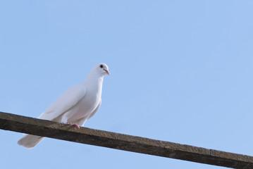 Белый голубь, сидящий на перекладине