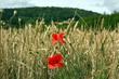 coquelicots dans les blés en bourgogne