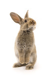 Adorable rabbit isolated on white - Fine Art prints
