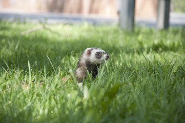 ferret walking in the grass