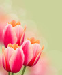 Beautiful pink tulips on green background