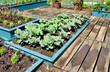 Cabbage plants in raised bed