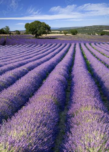Fototapeten,lavendel,feld,brackish,provence