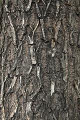 scholartree bark