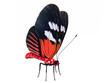 le papillon rouge