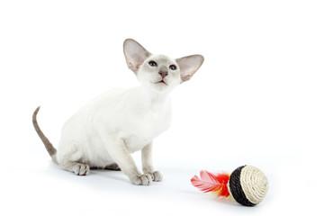 chat siamois devant son jouet