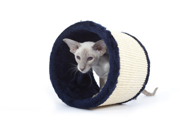 chat siamois dans tunnel
