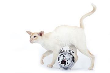 chat siamois et son réveil matin décoré
