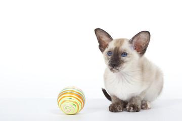 chat siamois et sa balle