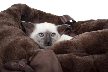 chaton siamois aux yeux bleus enfoncé dans les coussins