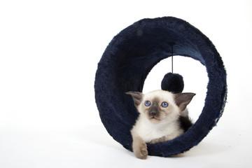 jeune chat siamois sur son arbre à chat