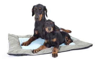 two beautiful dogs dobermann on the carpet