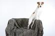 curiosité du jack russell terrier