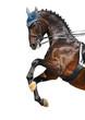Dressage: bay Hanoverian horse