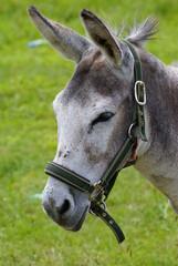 osioł/ donkey