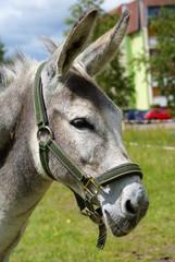 osioł 2 / donkey 2