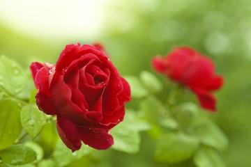 Natural red roses