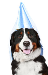 Bernese mountain dog in party cone