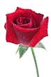 Fototapeta Kropla - Rose - Kwiat