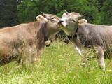 Zwei Kühe schmusen