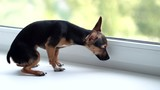 Miniature Pinscher looks out the window