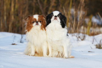 japanese chin spaniel in the snow