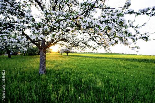 Apfelbaum im Sonnenuntergang