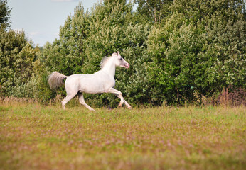 arab horse in field