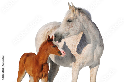 arab mare and foal isolated on white