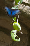 Blue morpho butterfly on carnivorous plant poster