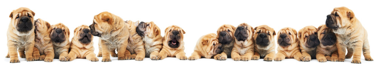 brood of sharpei puppies dogs