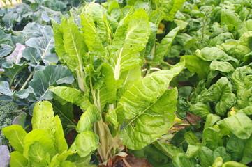 acelgas y hortalizas