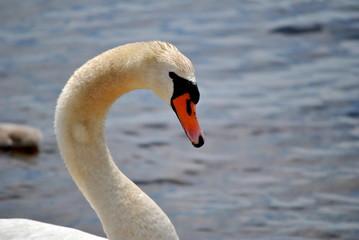 Mute Swan Headshot