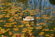 Canada Goose in the pond