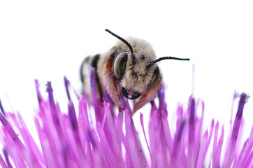 Bee on a Purple Thistle Flower